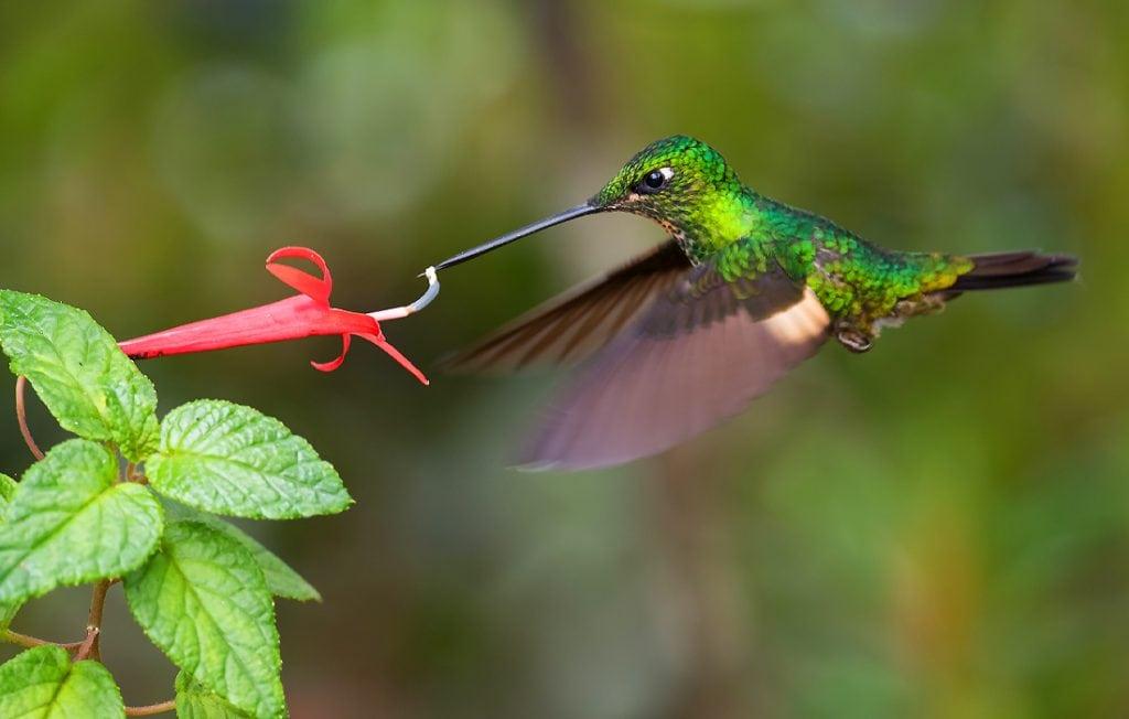 hummingbird eating a nectar