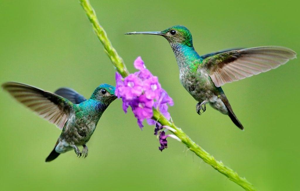 two hummingbirds flying