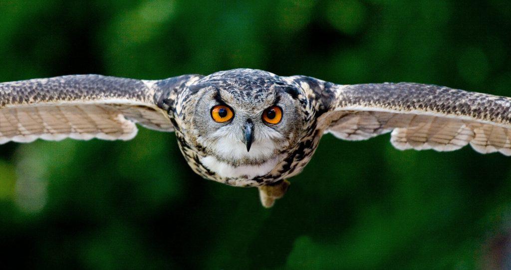 why do owls hoot?