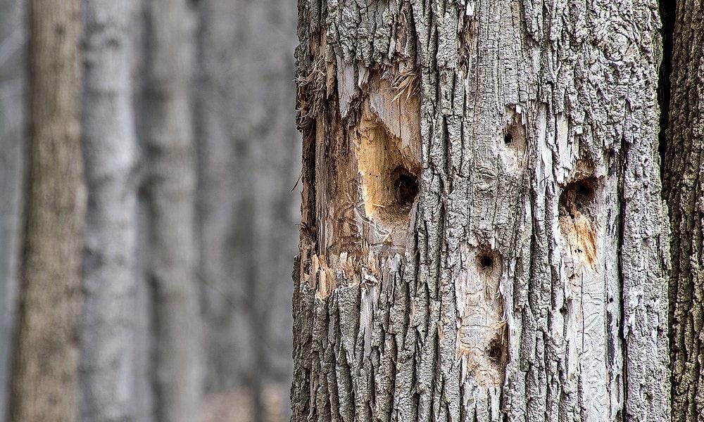 woodpecker holes in a tree