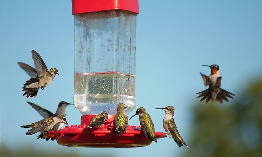 When To Put Out Hummingbird Feeders World Birds