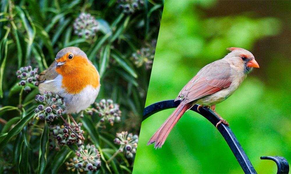 robin and cardinal