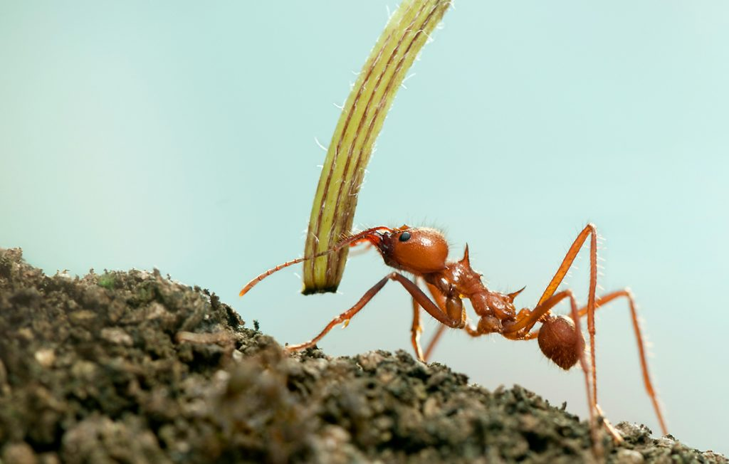 ant holding grass