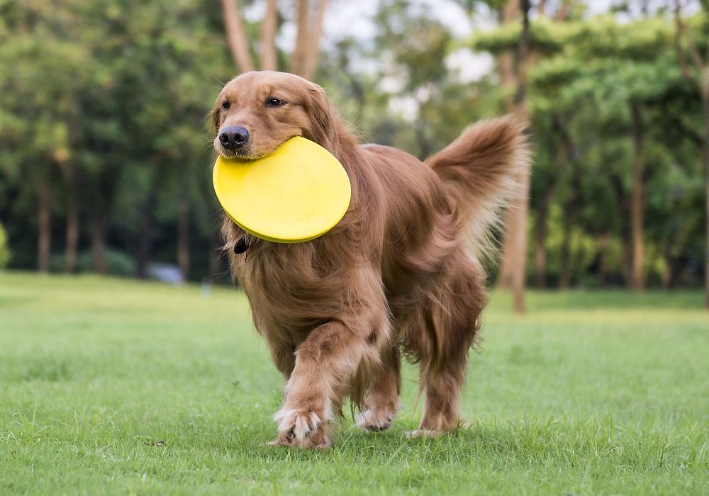 dog with a frisbe