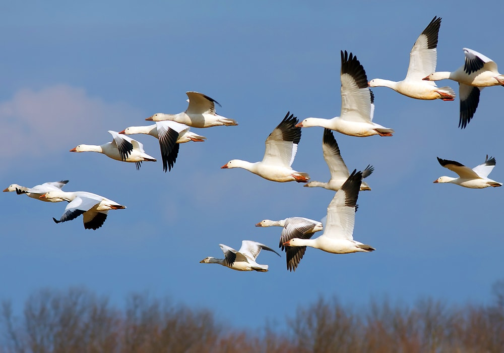 group of geese flying