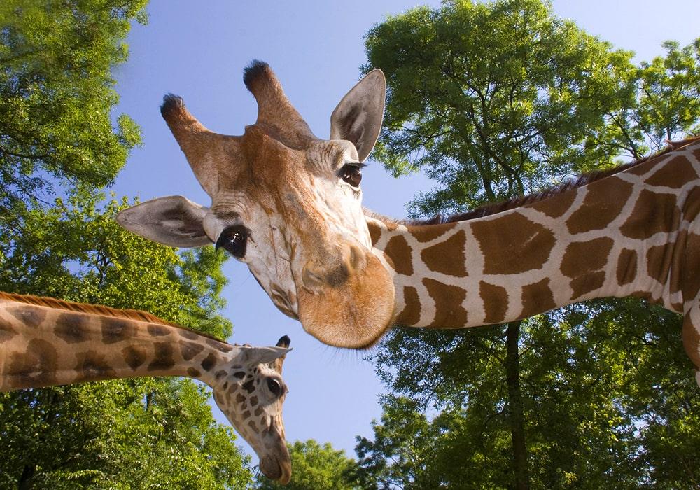giraffe in nature