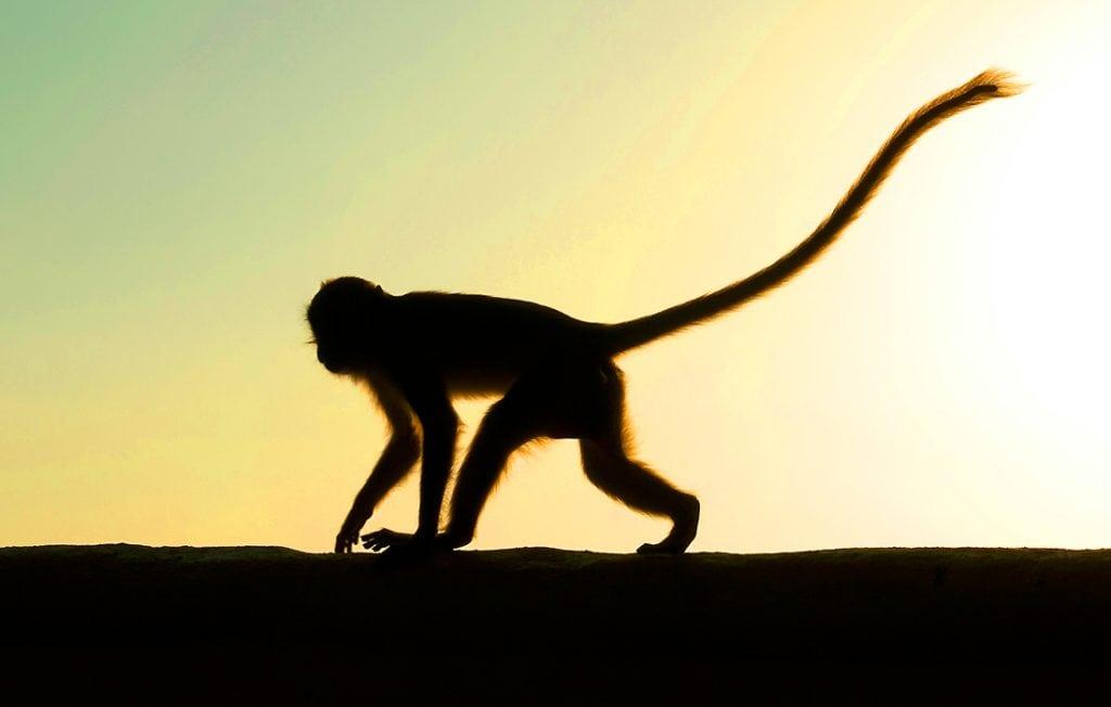 monkey silouette