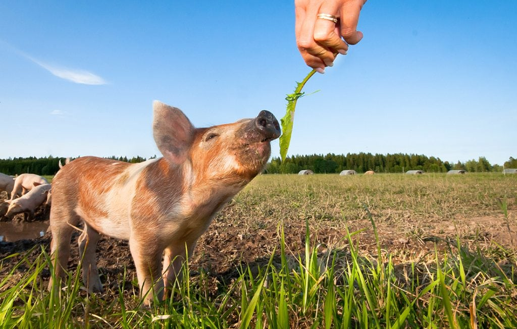 pig eating grass on the field