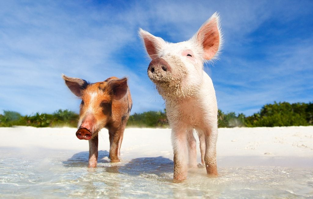 two pigs on the beach