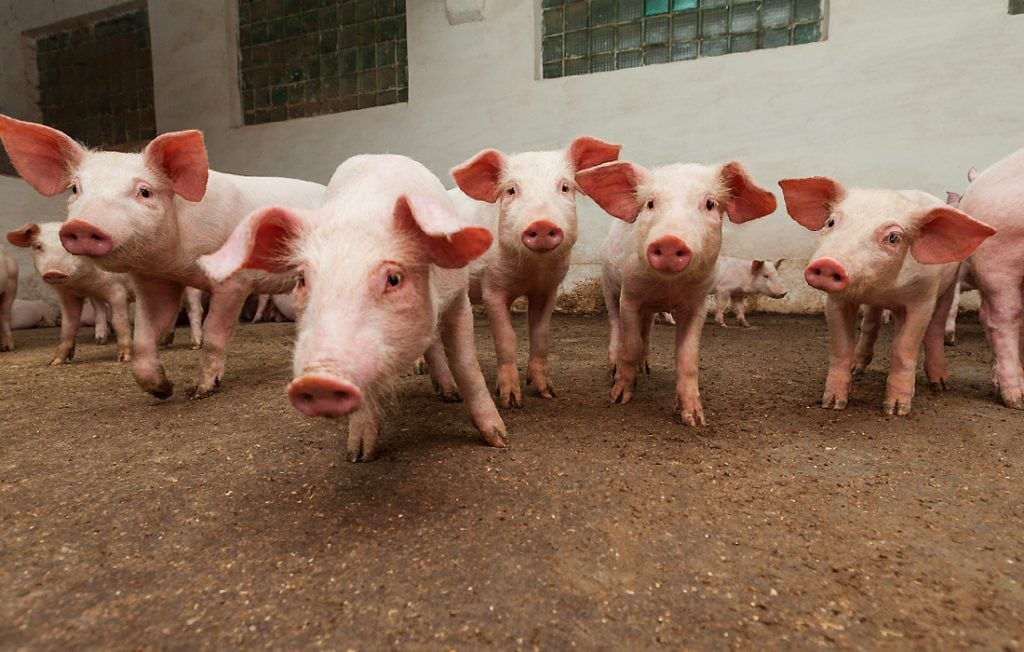 lots of pigs
