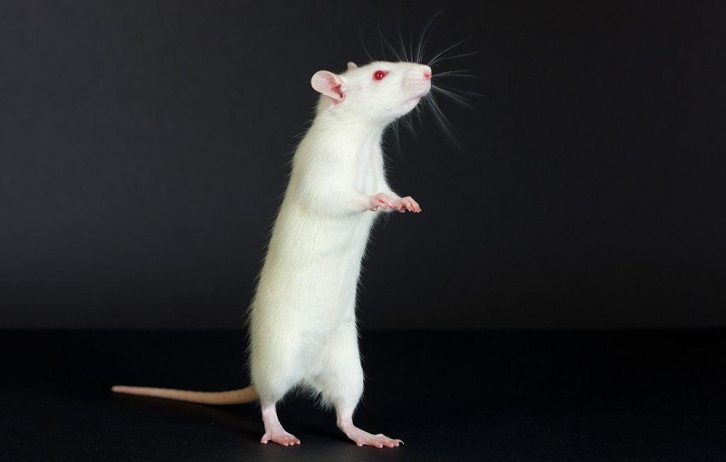 white rat on a black background