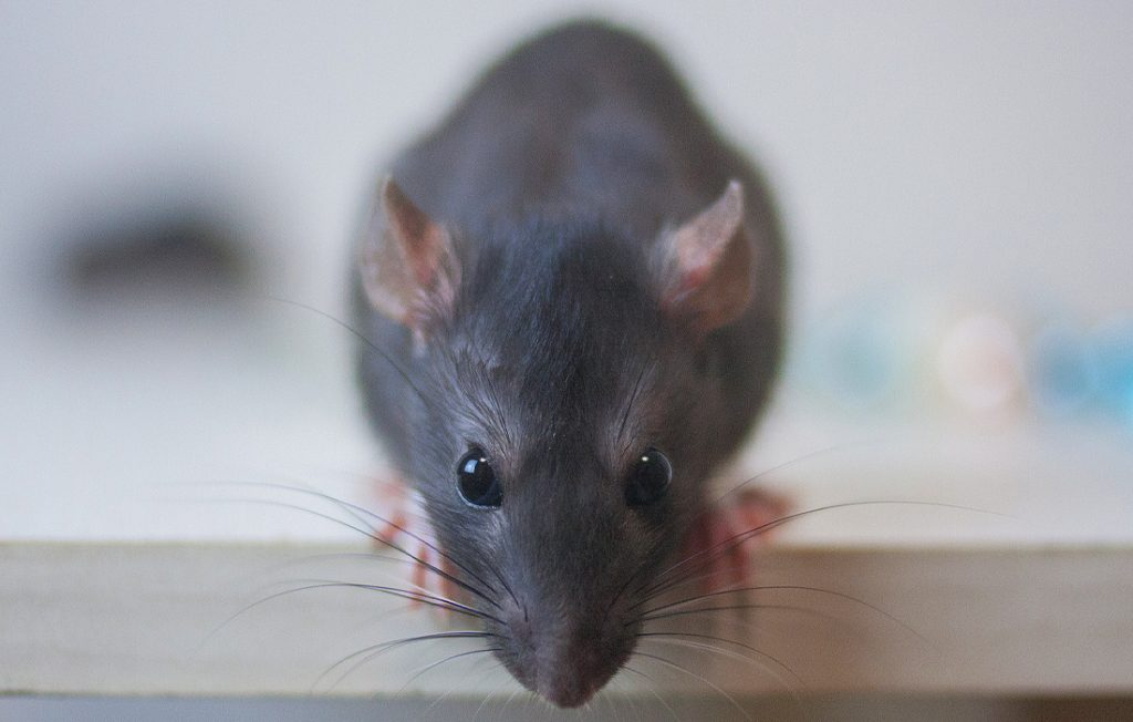 rat on the table