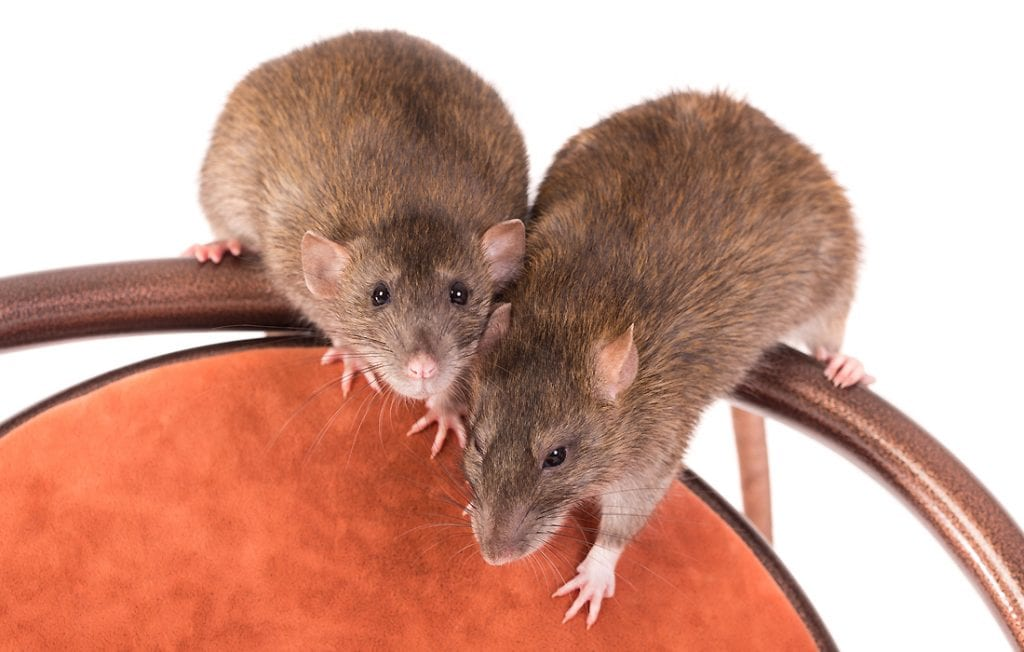 two rats on a white background