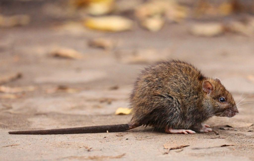 rat on the ground