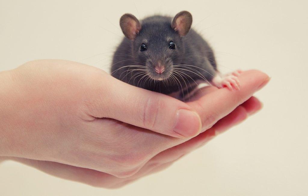 rat sitting on a hand