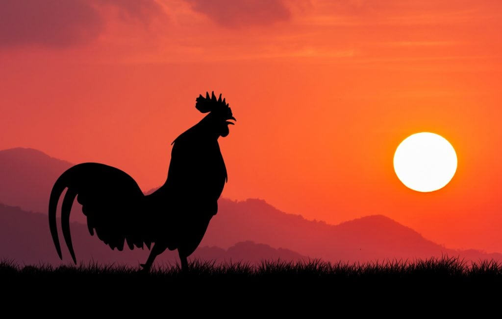 rooster in front of a sunset