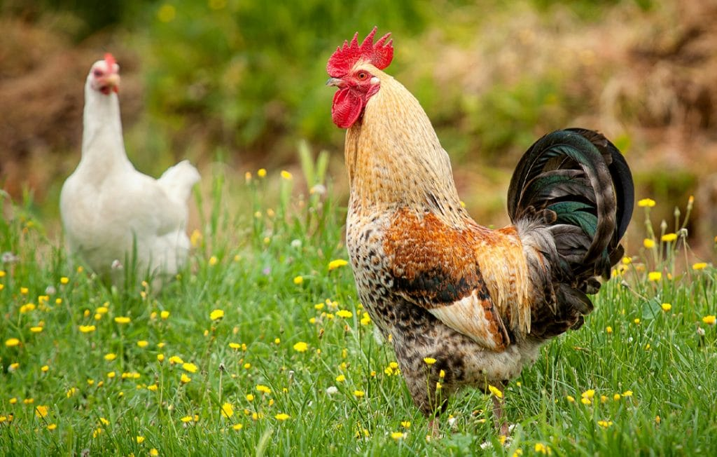 two roosters standing