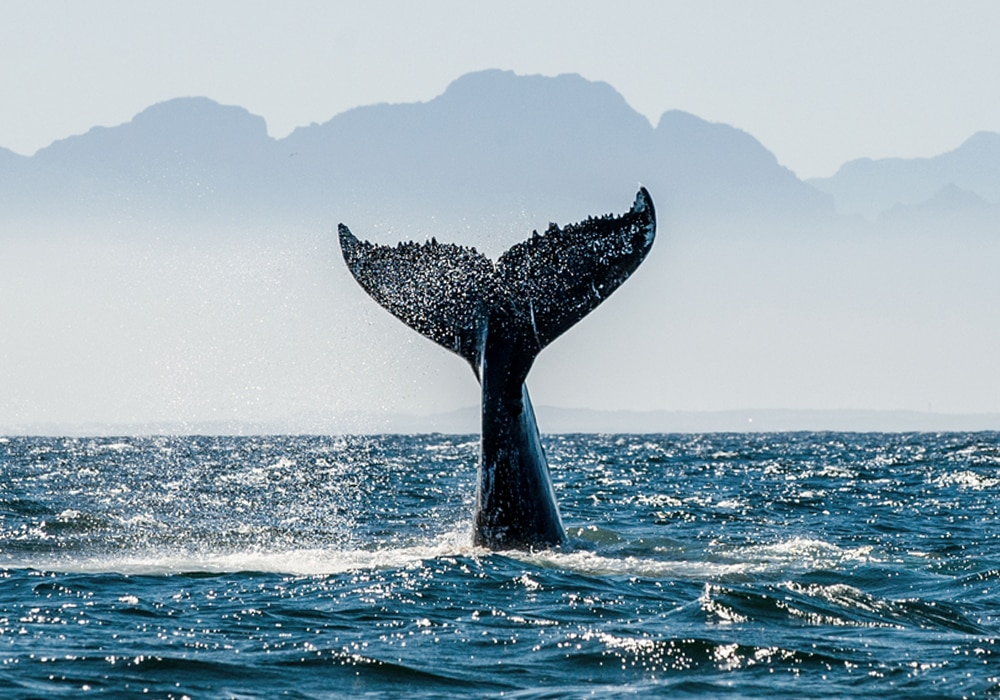 whale tail in water