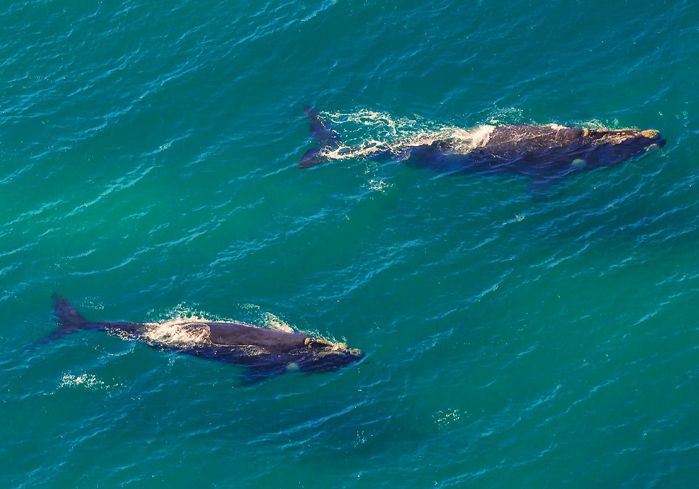 two whales in water