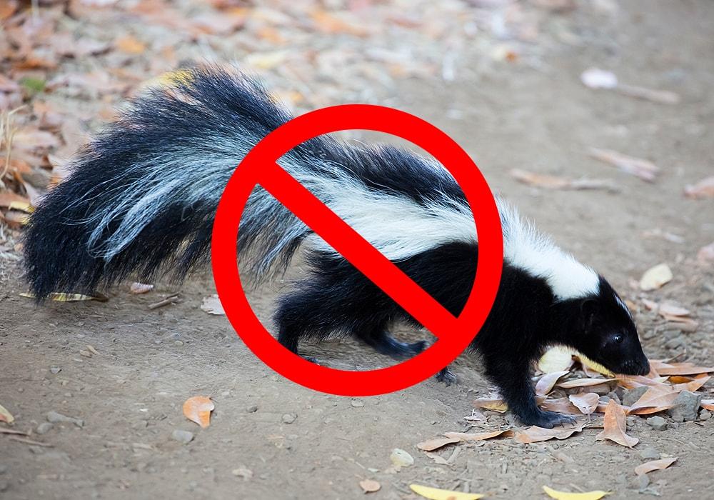 skunk on a ground