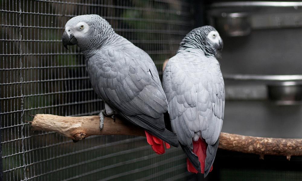 two grey parrots