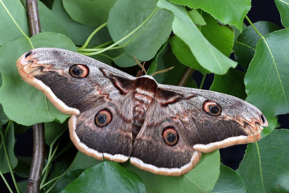 Moth Symbolism & Meaning (+Totem, Spirit & Omens) | World ...