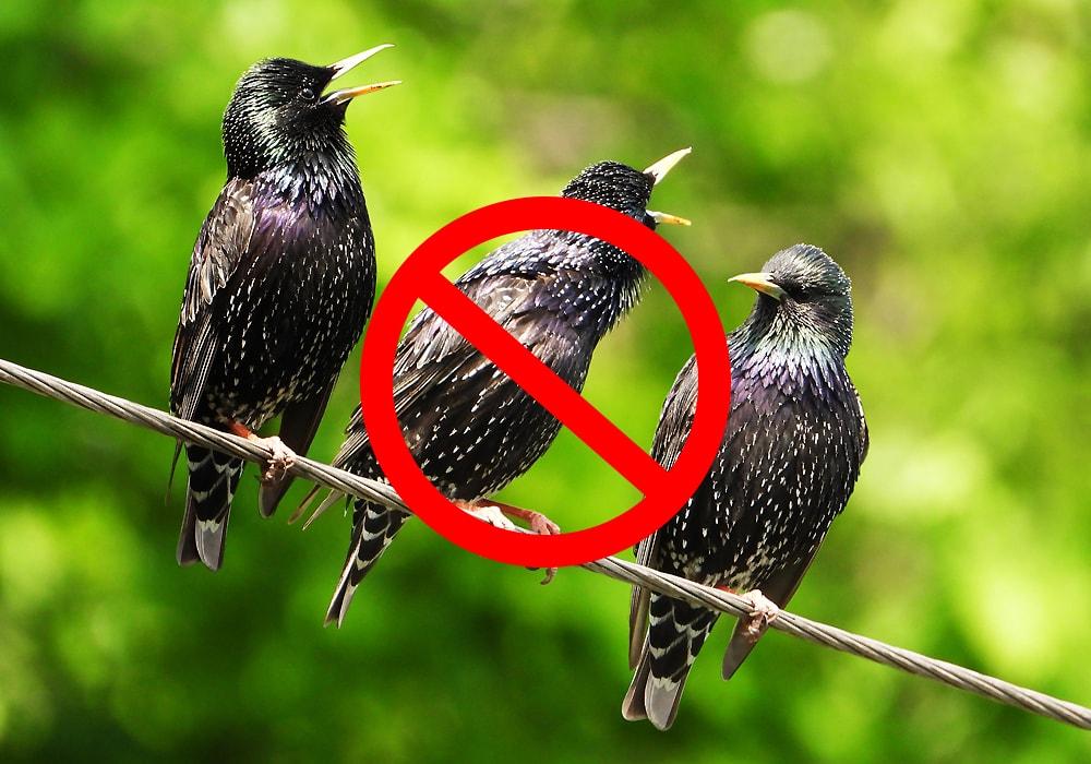 three starlings