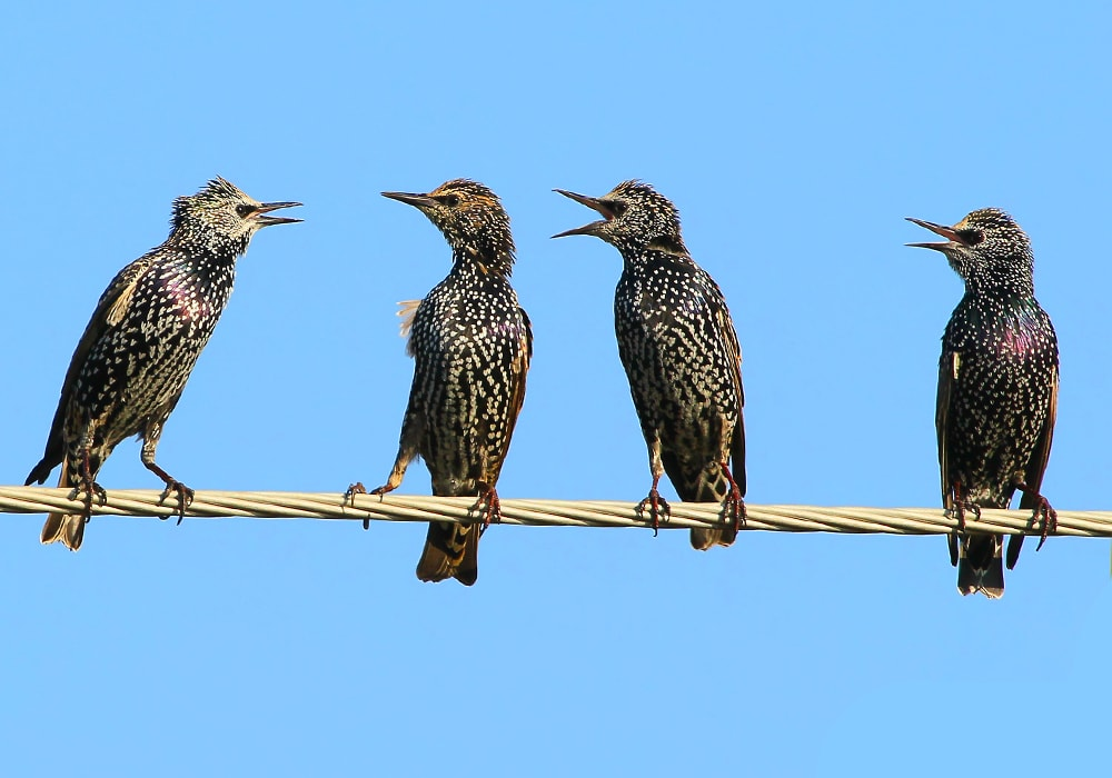 four starlings