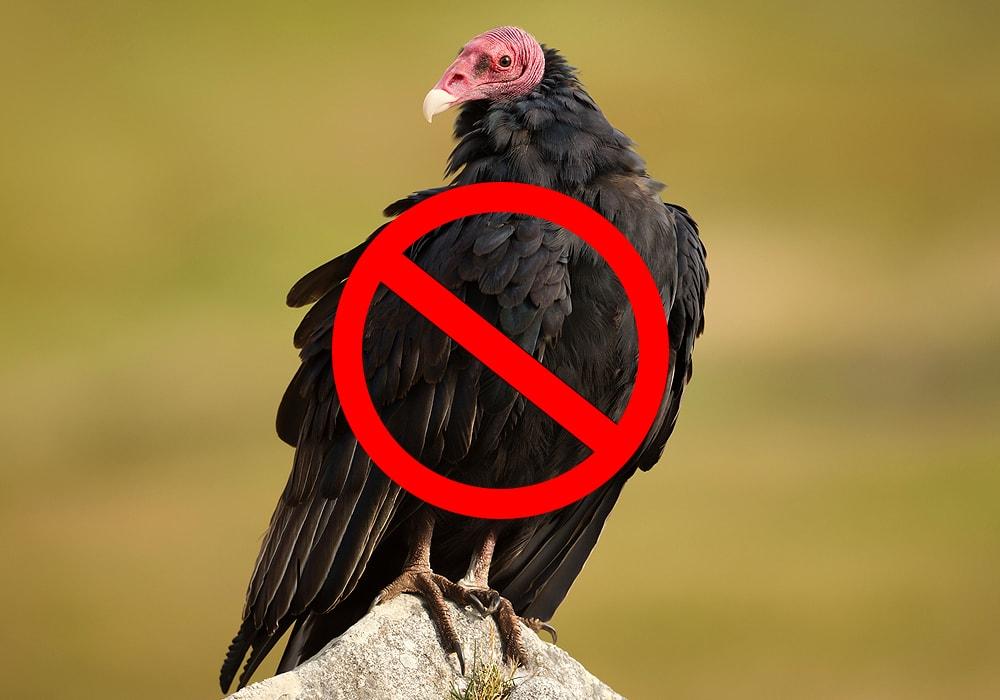 turkey vulture standing