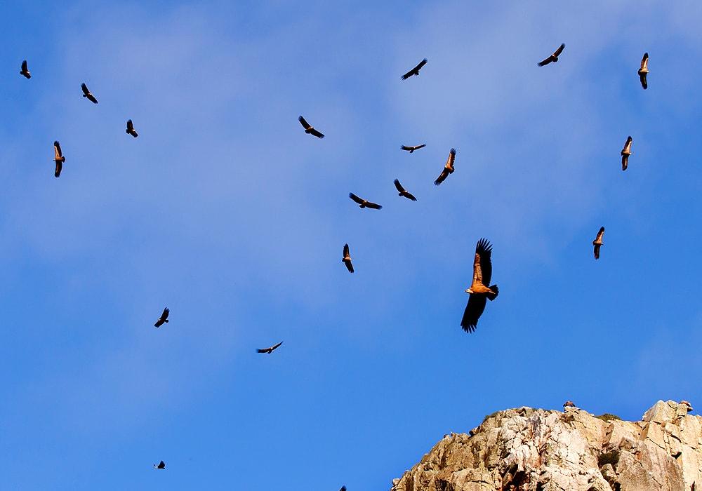 flying turkey vultures