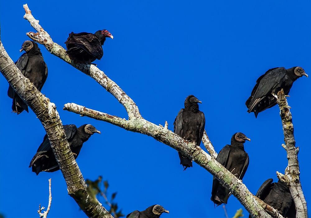 turkey vultures roosting