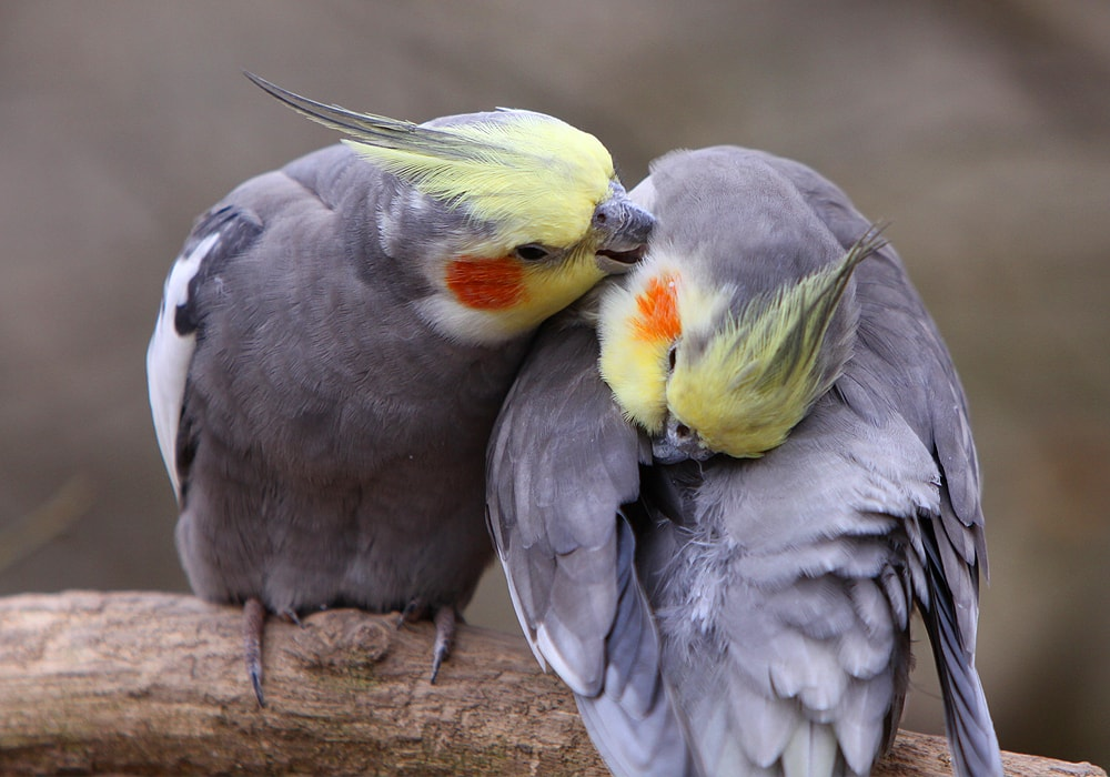 two cockatiels
