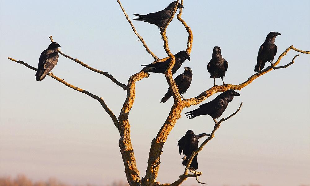 ravens roosting
