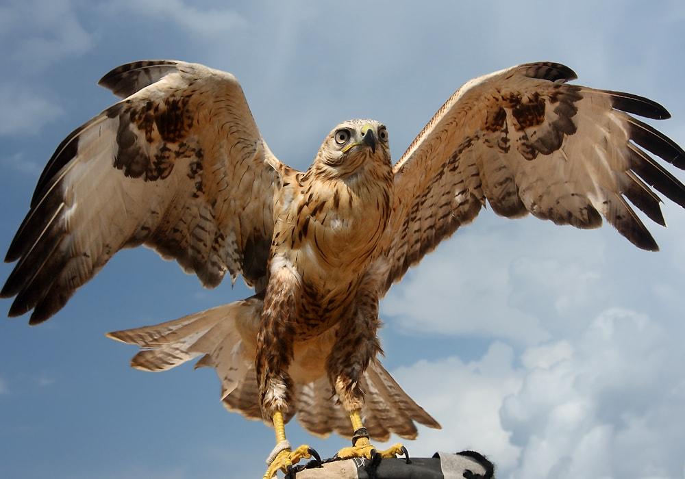 falcon flying