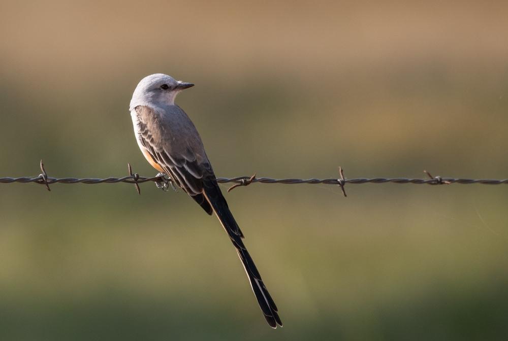 Scissor-tailed Flycatcher (Muscivora forficata)