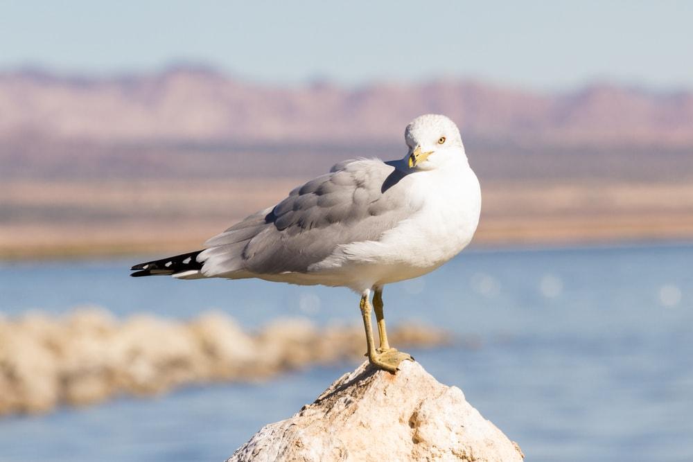 Herring Gull (Larus smithsonianus)