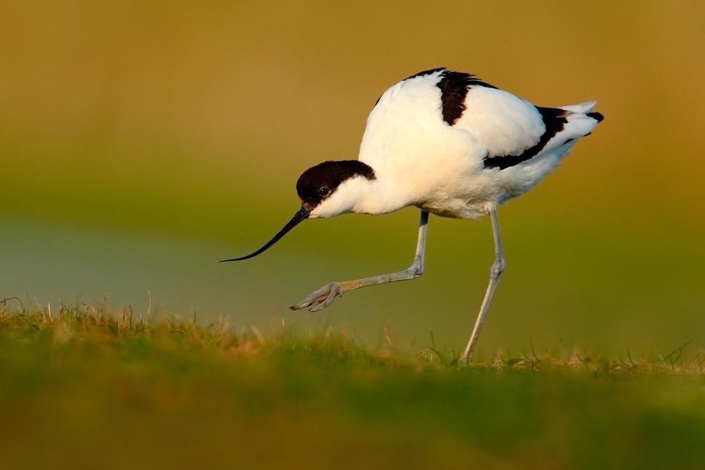 Pied Avocet, Recurvirostra avosetta, black and white in the green grass, bird in the nature habitat, Spain