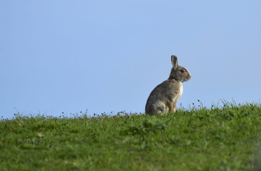 A rabbit enjoys the last hour of sun in his field overlooking the sea.