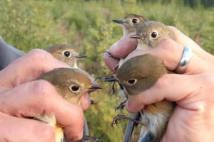 Red-flanked Bluetails in Finland