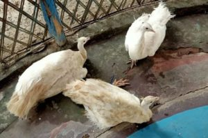 Three White Peacocks rescued by BSF India. Source: Twitter/@BSF_SouthBengal