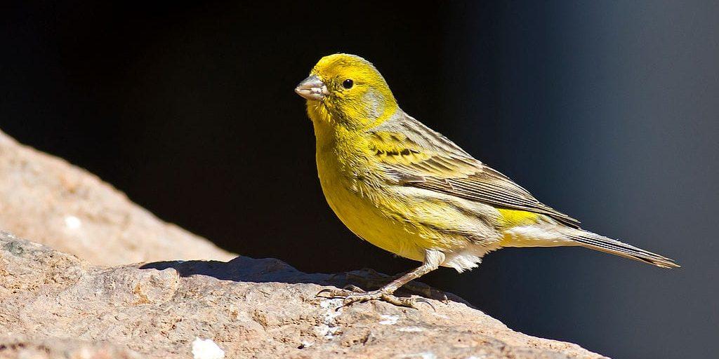Wild Canary - Serinus canarius