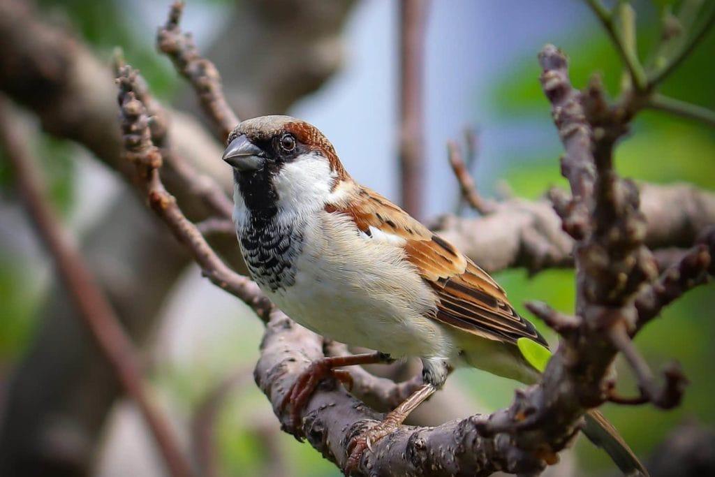 House Sparrow on a Branch