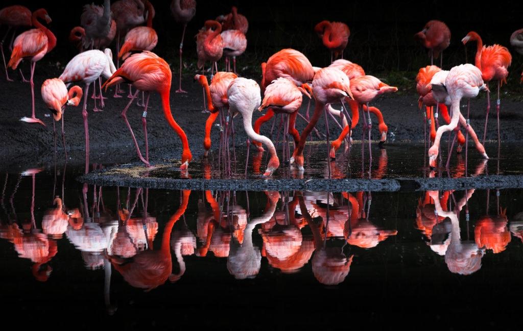 Group of pink Flamingos drinking water