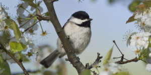 A black and white colored Carolina Chickadee sits perched on a tree branch framed with white flowers and leaves surrounding it.