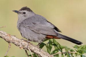 Gray Catbird sitting on tree branch